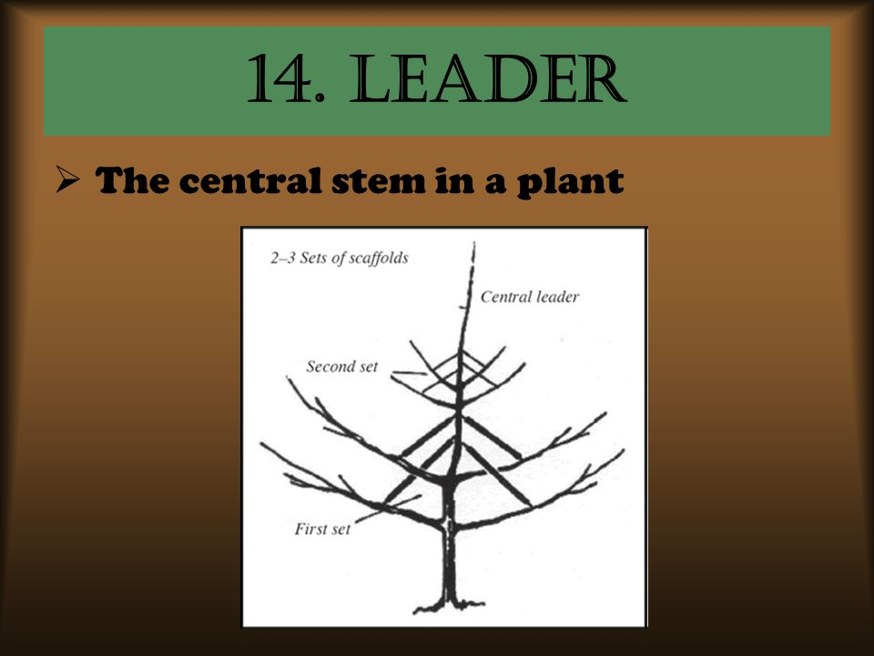14. Leader  The central stem in a plant