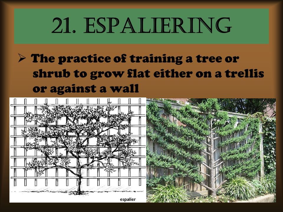 21. Espaliering  The practice of training a tree or shrub to grow flat either on a trellis or against a wall