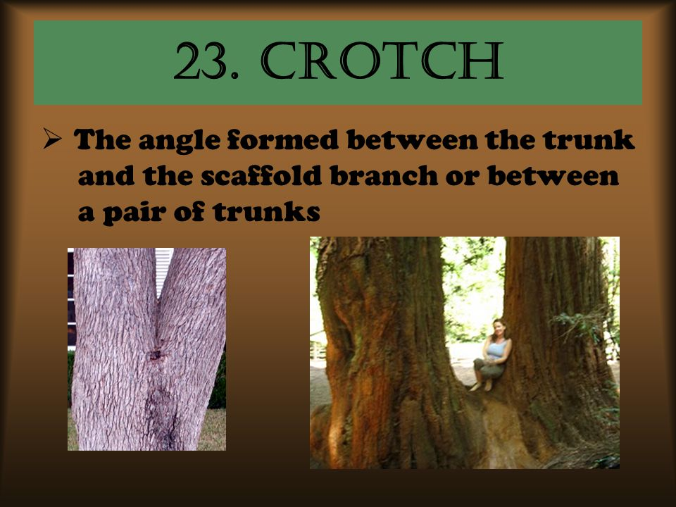 23. Crotch  The angle formed between the trunk and the scaffold branch or between a pair of trunks