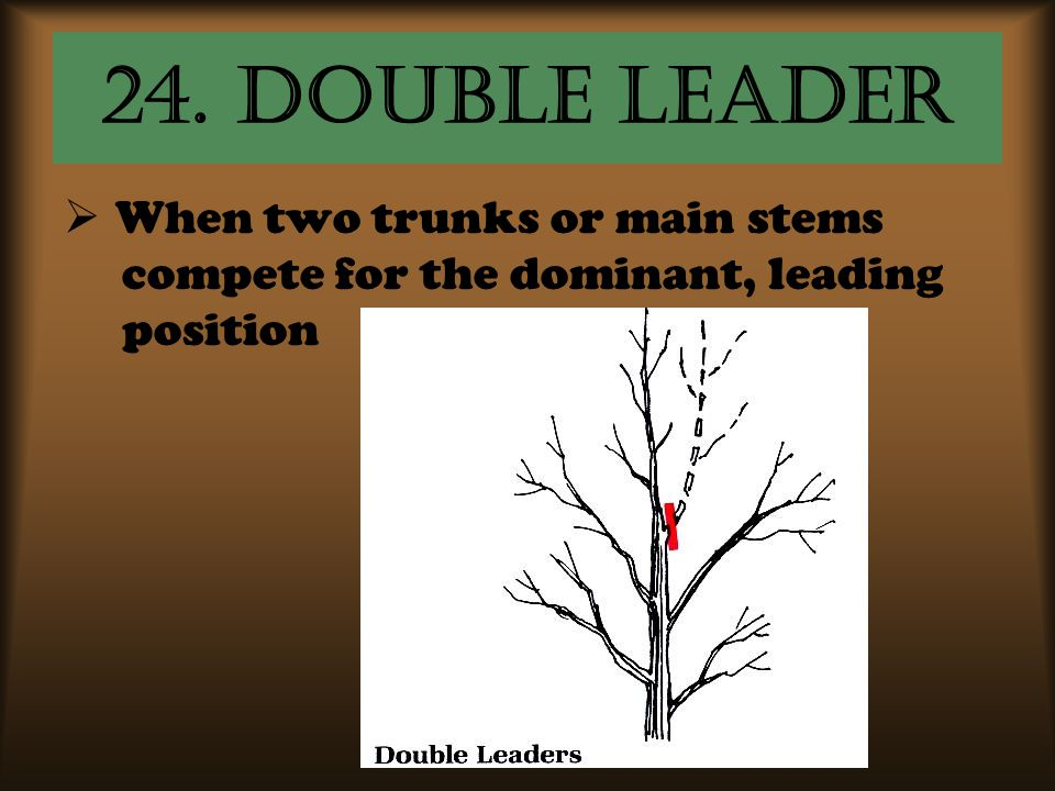 24. Double leader  When two trunks or main stems compete for the dominant, leading position