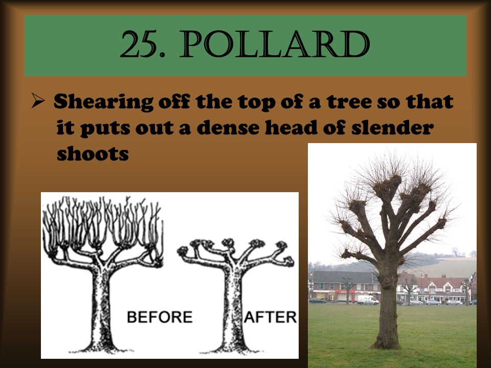 25. pollard  Shearing off the top of a tree so that it puts out a dense head of slender shoots
