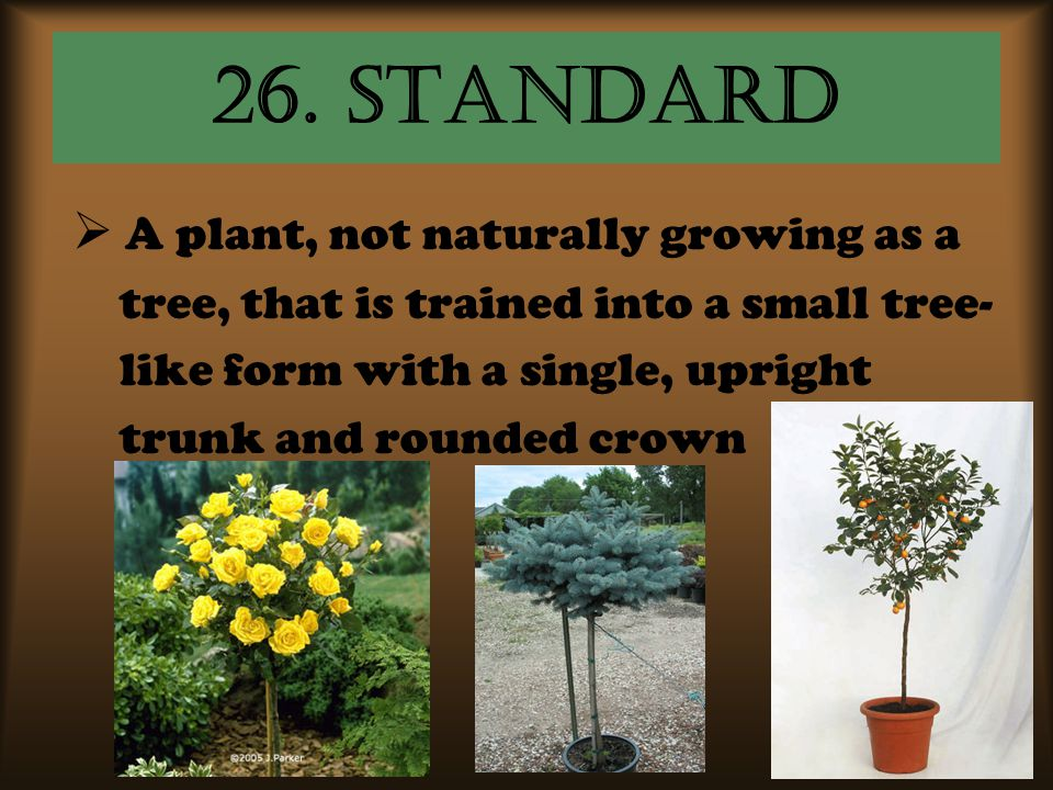 26. standard  A A plant, not naturally growing as a tree, that is trained into a small tree- like form with a single, upright trunk and rounded crow