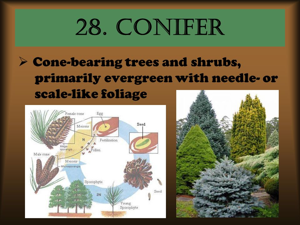 28. conifer  Cone-bearing trees and shrubs, primarily evergreen with needle- or scale-like foliage