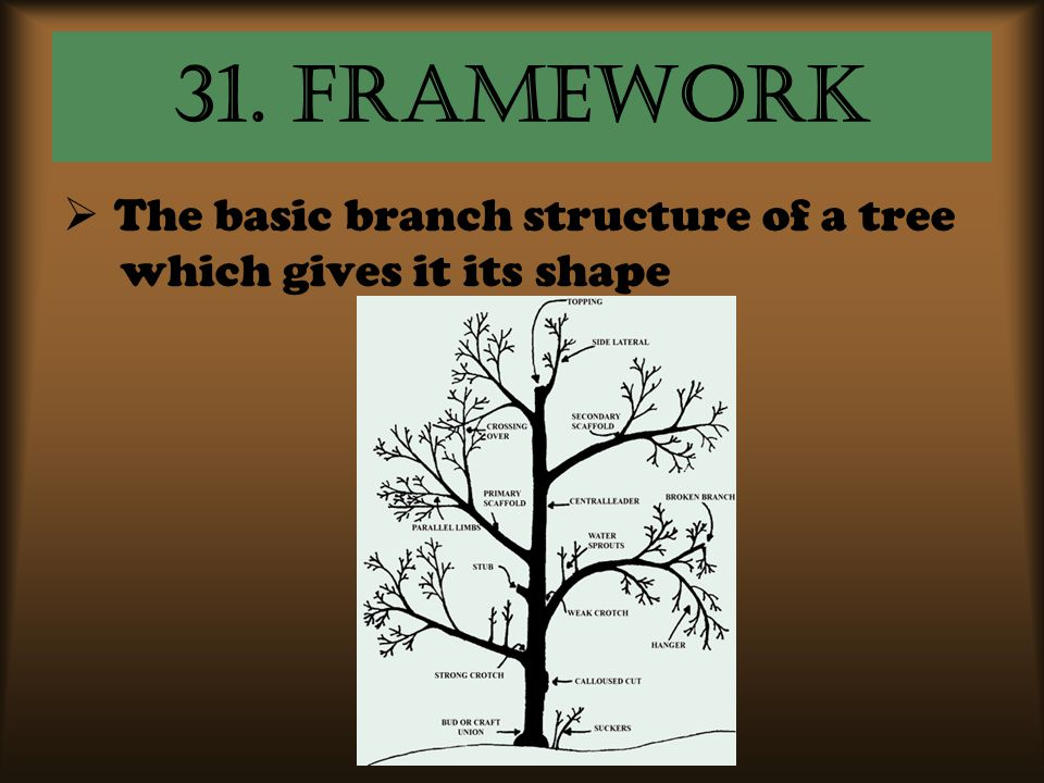 31. framework  The basic branch structure of a tree which gives it its shape