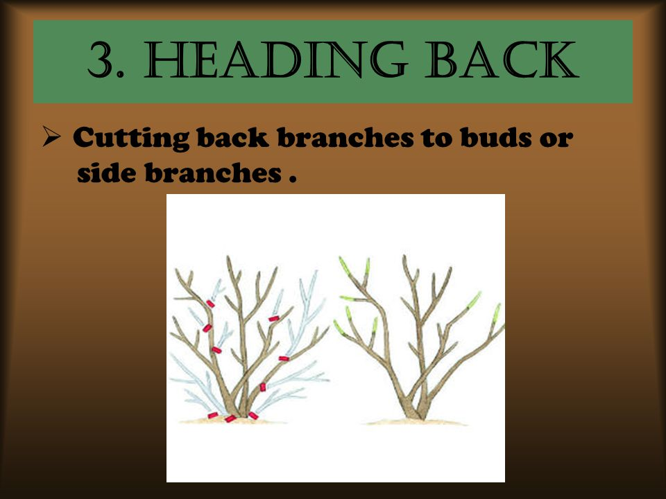 3. Heading Back  Cutting back branches to buds or side branches.
