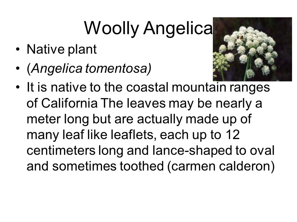 Woolly Angelica Native plant (Angelica tomentosa) It is native to the coastal mountain ranges of California The leaves may be nearly a meter long but