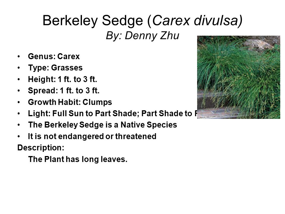 Berkeley Sedge (Carex divulsa) By: Denny Zhu Genus: Carex Type: Grasses Height: 1 ft. to 3 ft. Spread: 1 ft. to 3 ft. Growth Habit: Clumps Light: Full