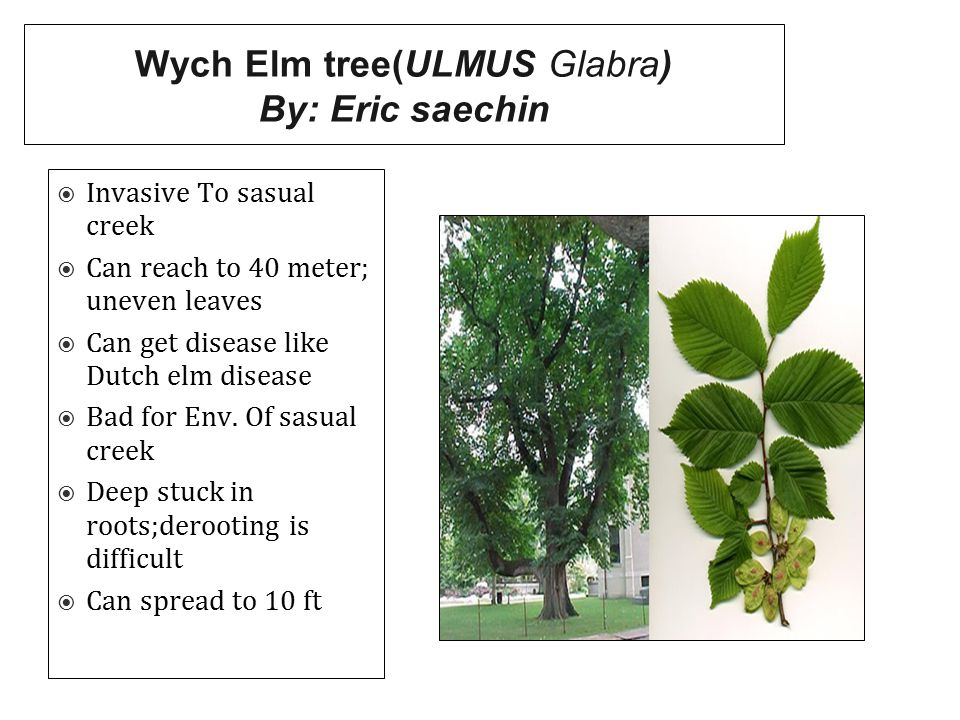 Wych Elm tree(ULMUS Glabra) By: Eric saechin  Invasive To sasual creek  Can reach to 40 meter; uneven leaves  Can get disease like Dutch elm diseas