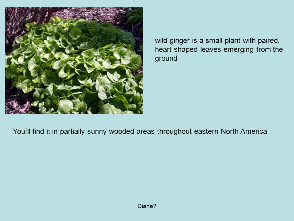 Diana? Youíll find it in partially sunny wooded areas throughout eastern North America wild ginger is a small plant with paired, heart-shaped leaves e