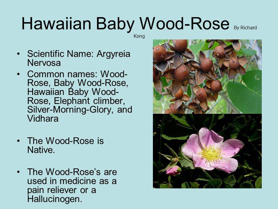 Hawaiian Baby Wood-Rose By Richard Kong Scientific Name: Argyreia Nervosa Common names: Wood- Rose, Baby Wood-Rose, Hawaiian Baby Wood- Rose, Elephant climber, Silver-Morning-Glory, and Vidhara The Wood-Rose is Native.