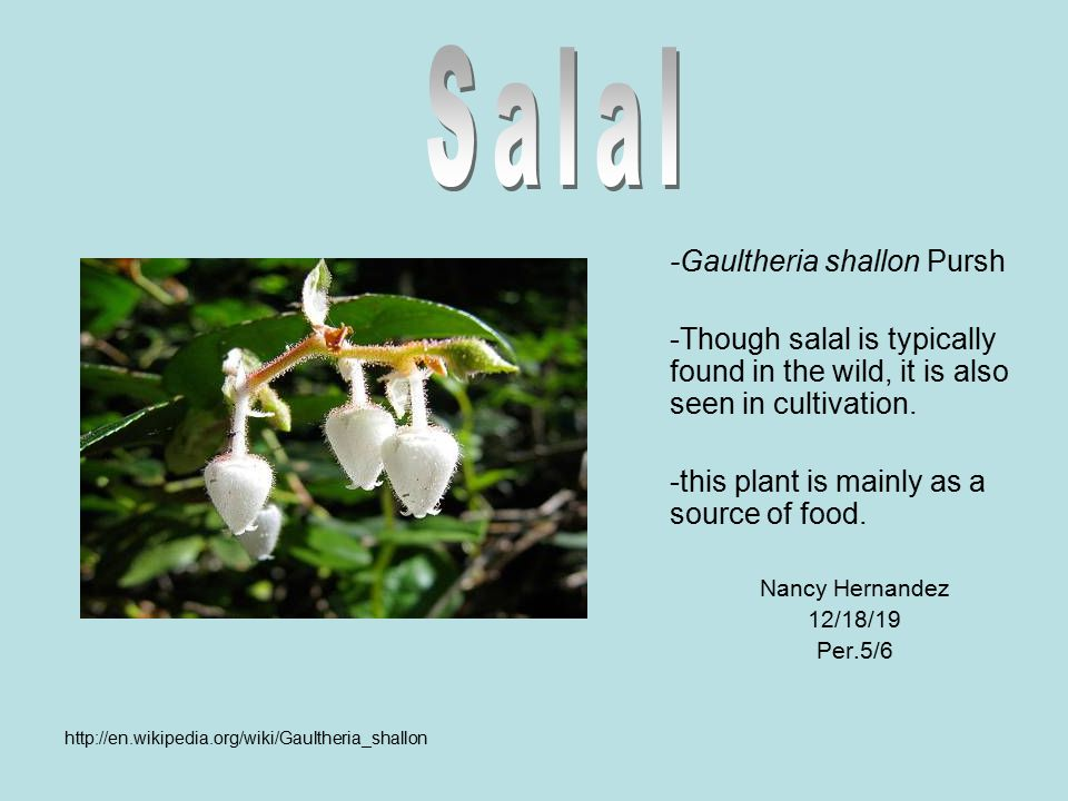 -Gaultheria shallon Pursh -Though salal is typically found in the wild, it is also seen in cultivation. -this plant is mainly as a source of food. Nan