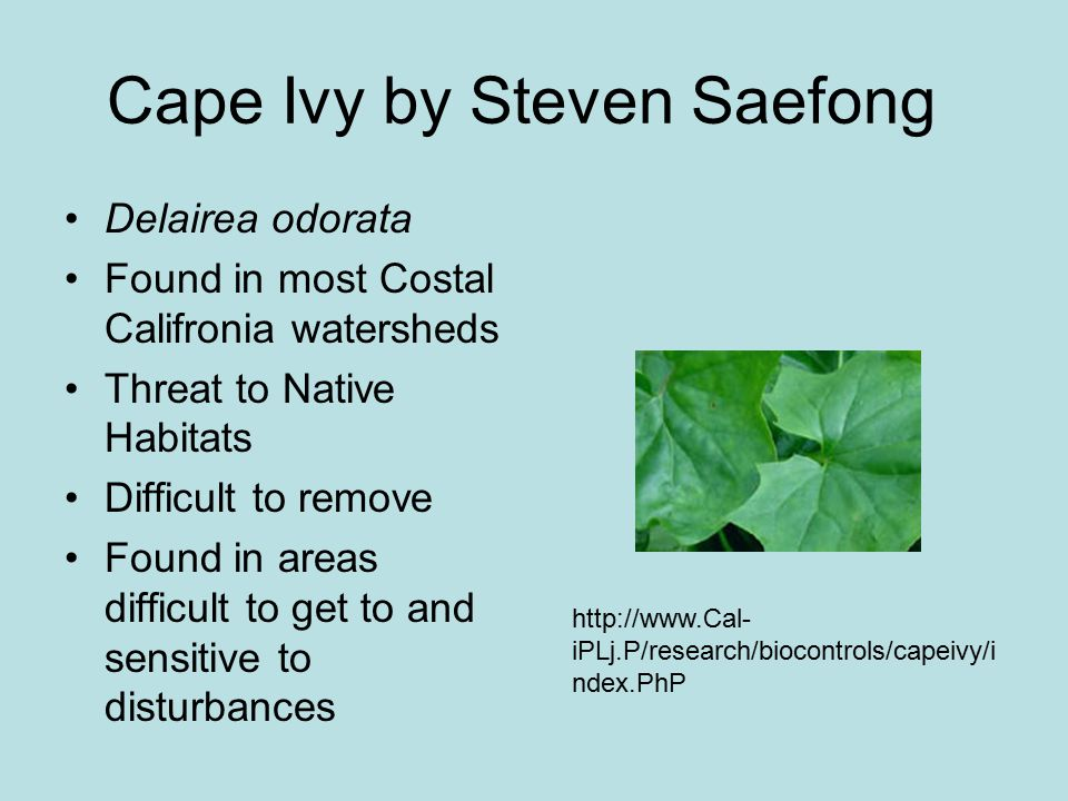Cape Ivy by Steven Saefong Delairea odorata Found in most Costal Califronia watersheds Threat to Native Habitats Difficult to remove Found in areas di