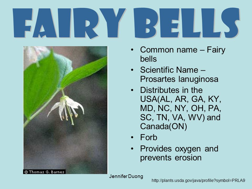 Jennifer Duong Common name – Fairy bells Scientific Name – Prosartes lanuginosa Distributes in the USA(AL, AR, GA, KY, MD, NC, NY, OH, PA, SC, TN, VA,