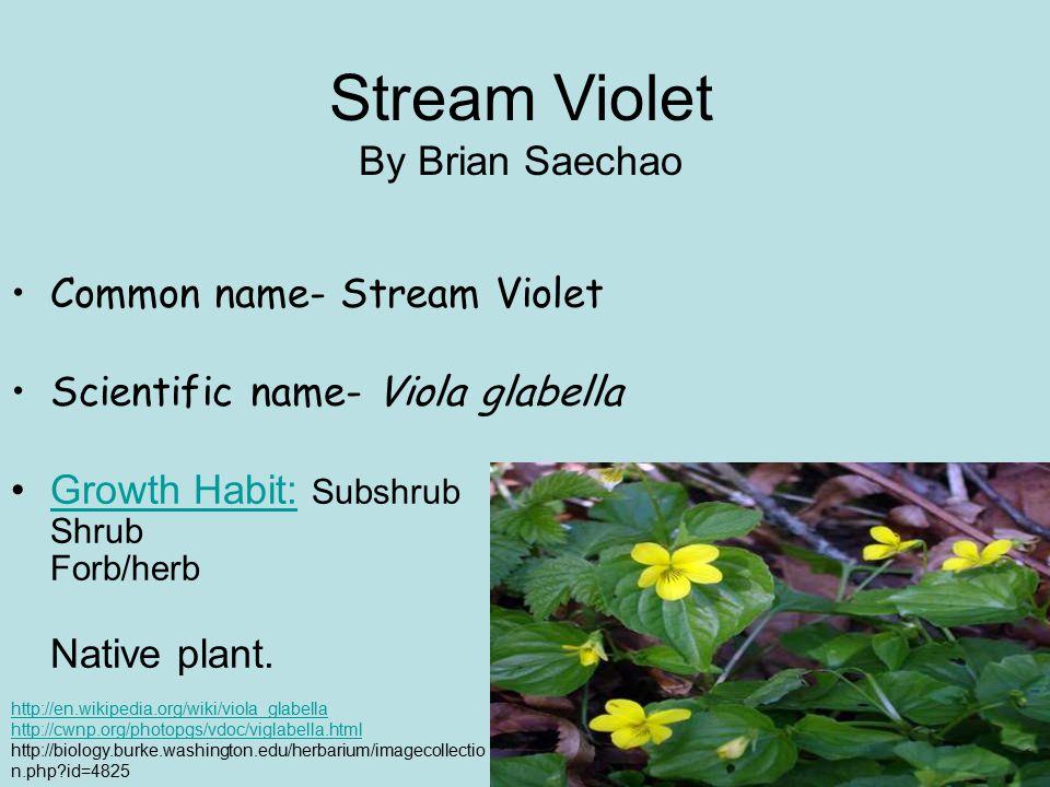 Common name- Stream Violet Scientific name- Viola glabella Growth Habit: Subshrub Shrub Forb/herb Native plant.Growth Habit: Stream Violet By Brian Saechao http://en.wikipedia.org/wiki/viola_glabella http://cwnp.org/photopgs/vdoc/viglabella.html http://biology.burke.washington.edu/herbarium/imagecollectio n.php?id=4825