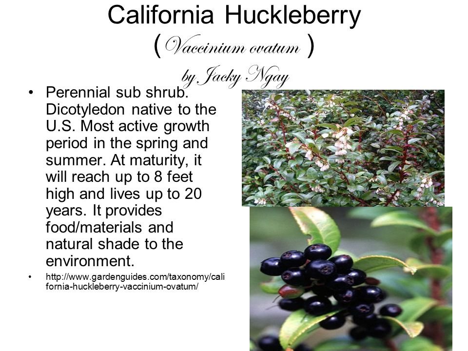 California Huckleberry ( Vaccinium ovatum ) by Jacky Ngay Perennial sub shrub. Dicotyledon native to the U.S. Most active growth period in the spring