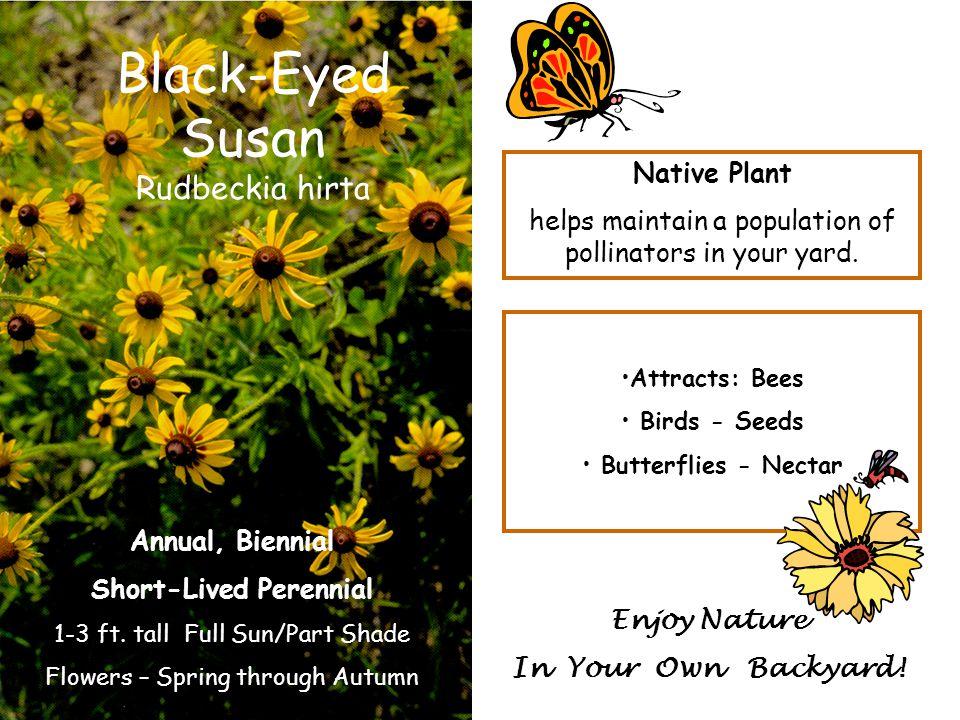 Black-Eyed Susan Rudbeckia hirta Annual, Biennial Short-Lived Perennial 1-3 ft. tall Full Sun/Part Shade Flowers – Spring through Autumn Attracts: Bee