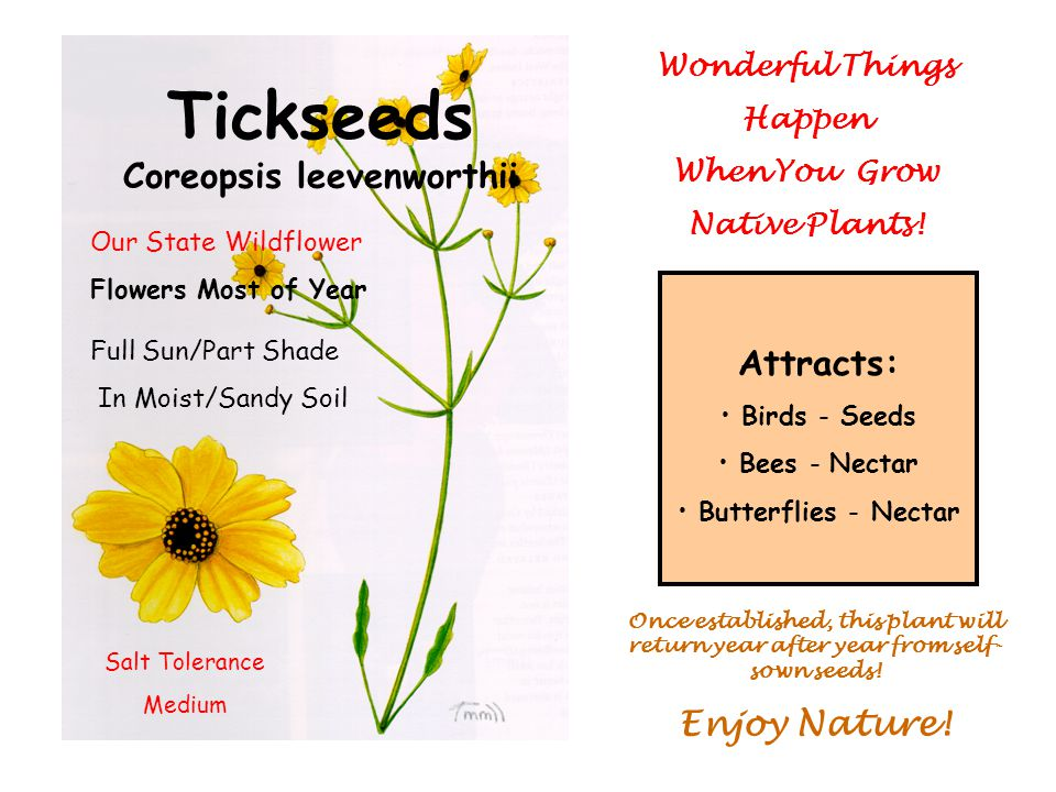 Tickseeds Coreopsis leevenworthii Full Sun/Part Shade In Moist/Sandy Soil Attracts: Birds - Seeds Bees - Nectar Butterflies - Nectar Once established, this plant will return year after year from self- sown seeds.