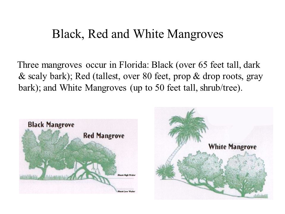 Black, Red and White Mangroves Three mangroves occur in Florida: Black (over 65 feet tall, dark & scaly bark); Red (tallest, over 80 feet, prop & drop roots, gray bark); and White Mangroves (up to 50 feet tall, shrub/tree).