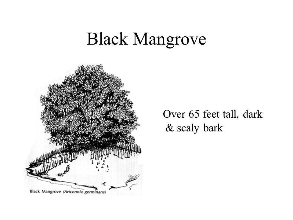Black Mangrove Over 65 feet tall, dark & scaly bark