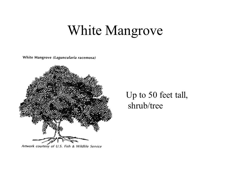 White Mangrove Up to 50 feet tall, shrub/tree