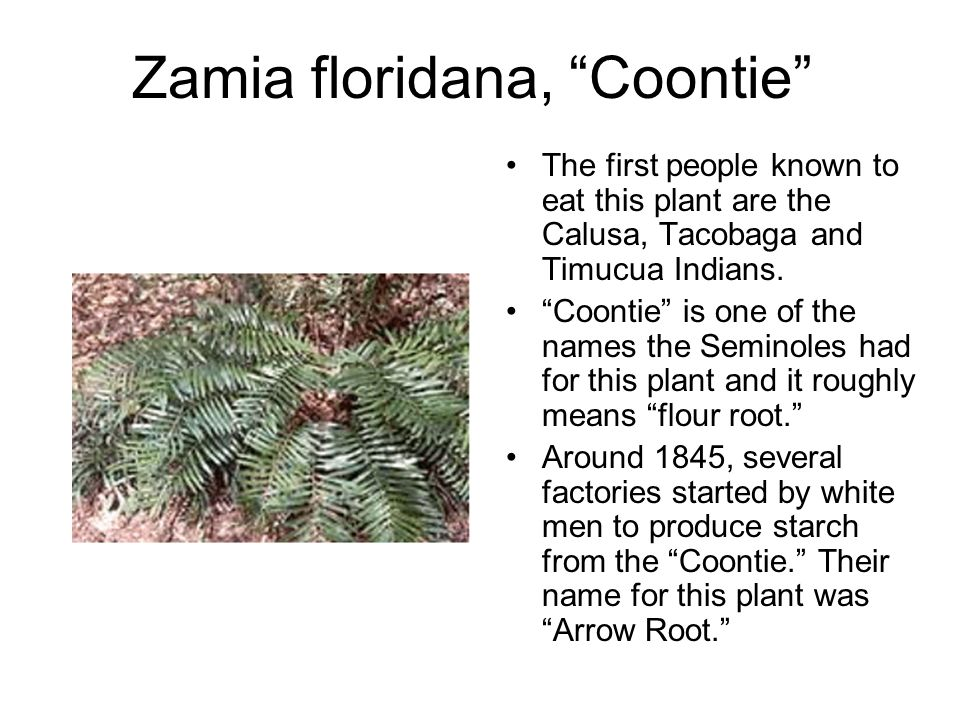 Zamia floridana, Coontie The first people known to eat this plant are the Calusa, Tacobaga and Timucua Indians.