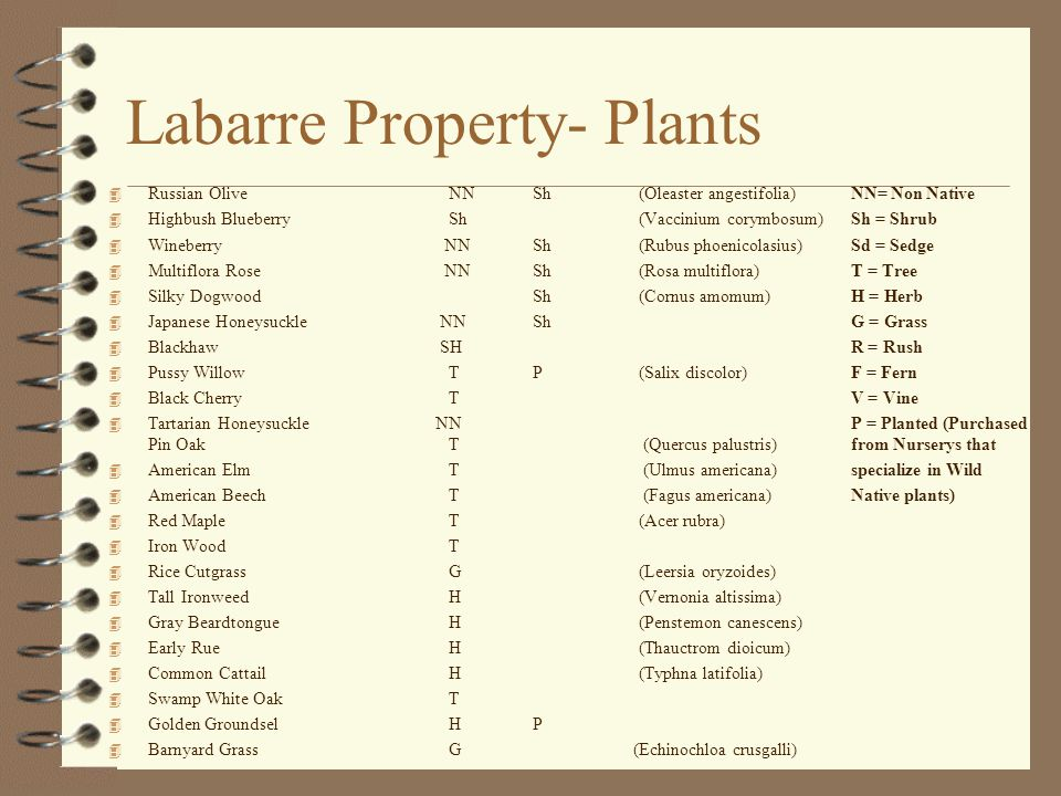 Labarre Property- Plants 4 Russian Olive NNSh(Oleaster angestifolia)NN= Non Native 4 Highbush Blueberry Sh(Vaccinium corymbosum)Sh = Shrub 4 Wineberry NNSh(Rubus phoenicolasius)Sd = Sedge 4 Multiflora Rose NNSh(Rosa multiflora)T = Tree 4 Silky Dogwood Sh(Cornus amomum)H = Herb 4 Japanese Honeysuckle NNShG = Grass 4 Blackhaw SHR = Rush 4 Pussy Willow TP(Salix discolor)F = Fern 4 Black Cherry TV = Vine 4 Tartarian Honeysuckle NNP = Planted (Purchased Pin Oak T (Quercus palustris)from Nurserys that 4 American Elm T (Ulmus americana)specialize in Wild 4 American Beech T (Fagus americana)Native plants) 4 Red Maple T (Acer rubra) 4 Iron Wood T 4 Rice Cutgrass G(Leersia oryzoides) 4 Tall Ironweed H(Vernonia altissima) 4 Gray Beardtongue H (Penstemon canescens) 4 Early Rue H(Thauctrom dioicum) 4 Common Cattail H (Typhna latifolia) 4 Swamp White Oak T 4 Golden Groundsel HP 4 Barnyard Grass G (Echinochloa crusgalli)