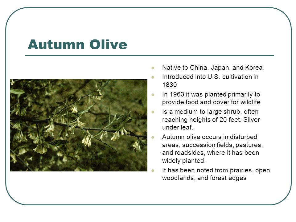 Autumn Olive Native to China, Japan, and Korea Introduced into U.S. cultivation in 1830 In 1963 it was planted primarily to provide food and cover for