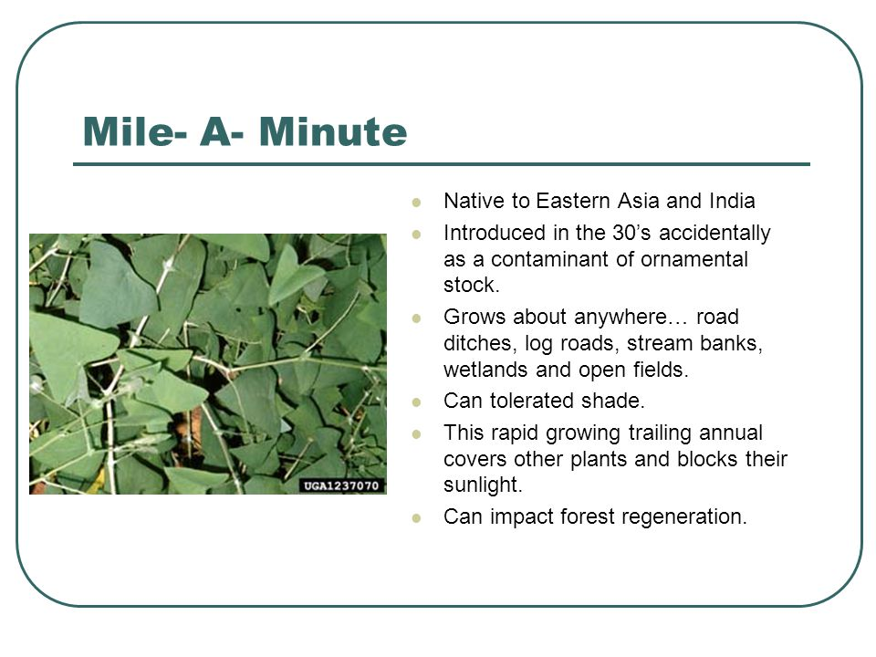 Mile- A- Minute Native to Eastern Asia and India Introduced in the 30's accidentally as a contaminant of ornamental stock.