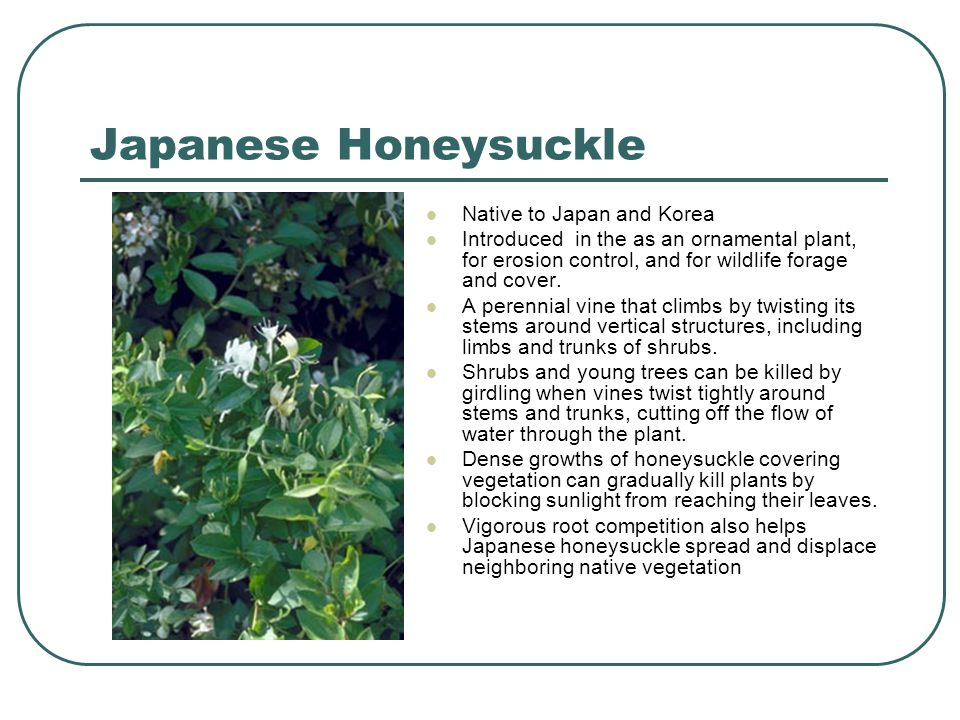 Japanese Honeysuckle Native to Japan and Korea Introduced in the as an ornamental plant, for erosion control, and for wildlife forage and cover.