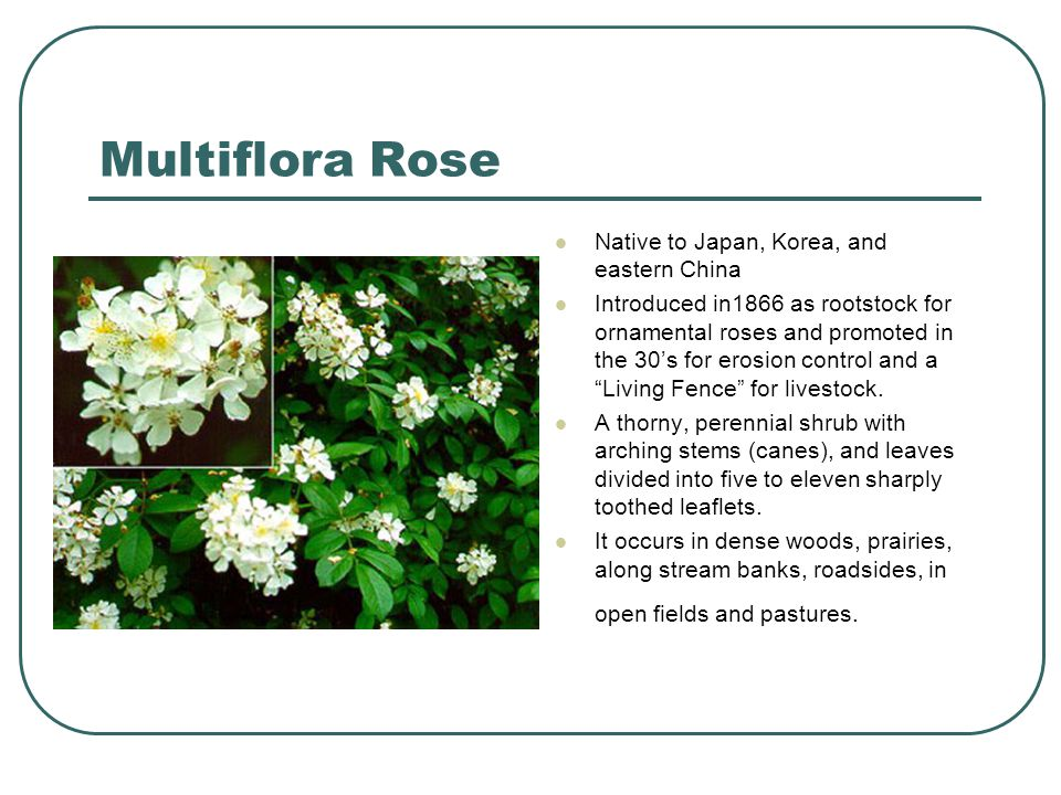 Multiflora Rose Native to Japan, Korea, and eastern China Introduced in1866 as rootstock for ornamental roses and promoted in the 30's for erosion control and a Living Fence for livestock.
