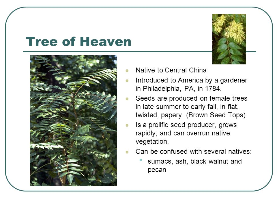 Tree of Heaven Native to Central China Introduced to America by a gardener in Philadelphia, PA, in 1784. Seeds are produced on female trees in late su