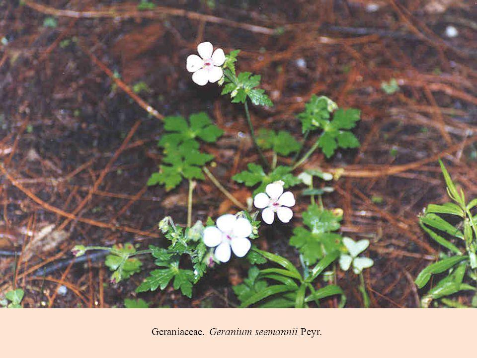 Geraniaceae. Geranium seemannii Peyr.