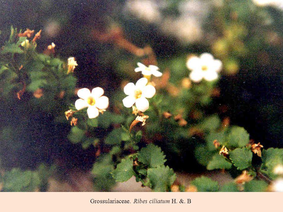 Grossulariaceae. Ribes ciliatum H. &. B