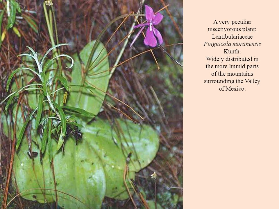 A very peculiar insectivorous plant: Lentibulariaceae Pinguicola moranensis Kunth.
