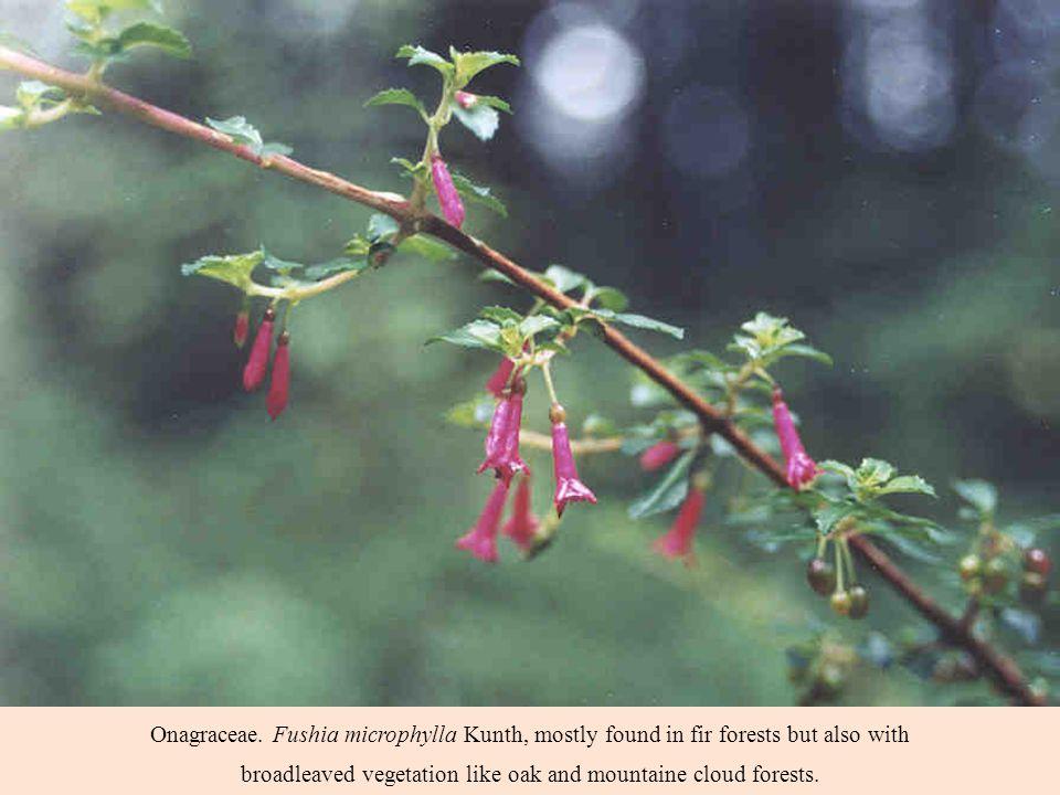 Onagraceae.