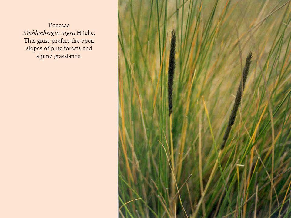 Poaceae Muhlenbergia nigra Hitchc.