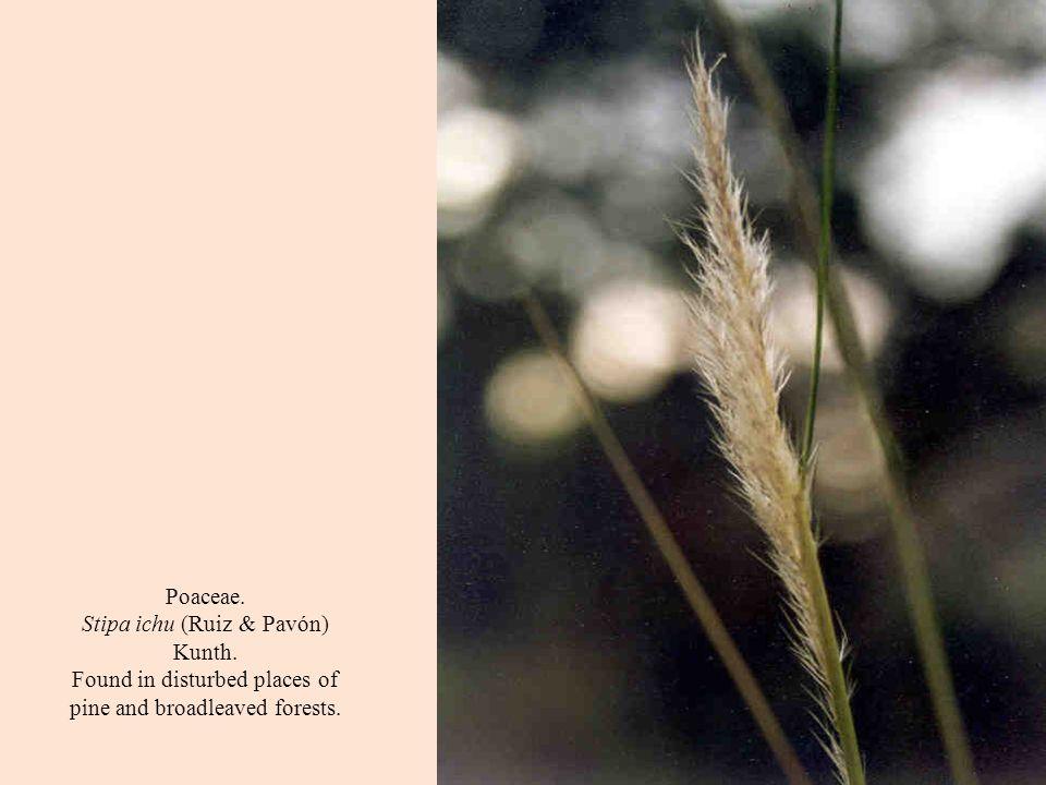 Poaceae. Stipa ichu (Ruiz & Pavón) Kunth.