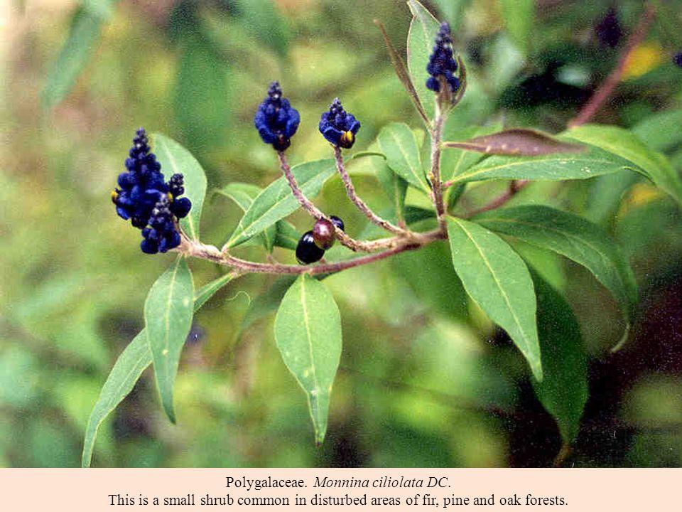 Polygalaceae. Monnina ciliolata DC.