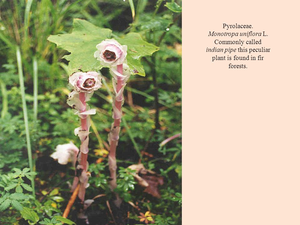 Pyrolaceae. Monotropa uniflora L. Commonly called indian pipe this peculiar plant is found in fir forests.