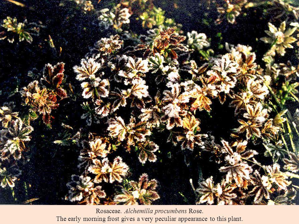 Rosaceae. Alchemilla procumbens Rose.
