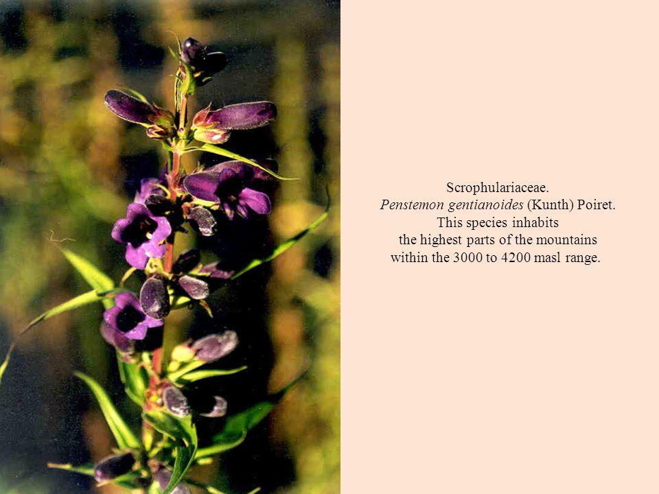 Scrophulariaceae. Penstemon gentianoides (Kunth) Poiret.