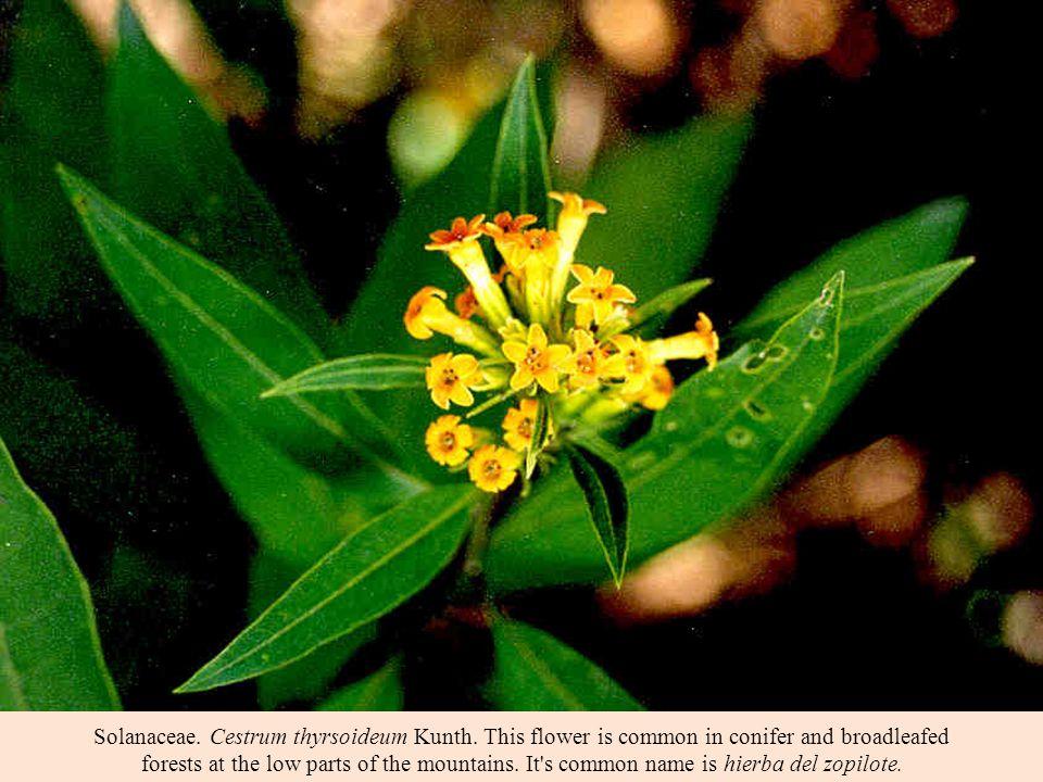 Solanaceae. Cestrum thyrsoideum Kunth.