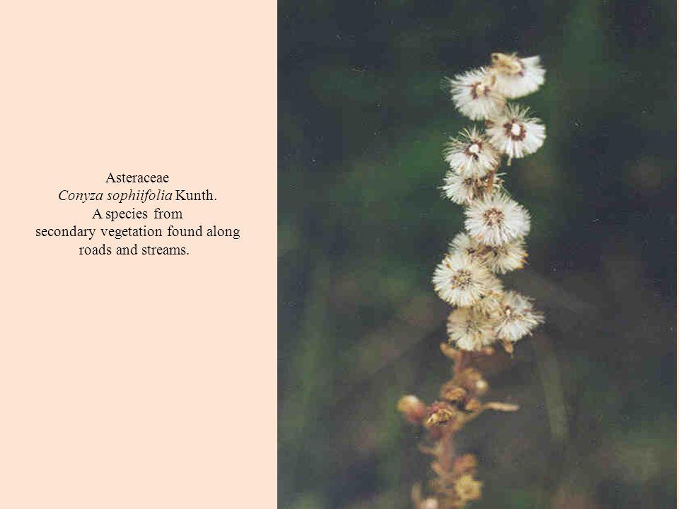 Asteraceae Conyza sophiifolia Kunth.