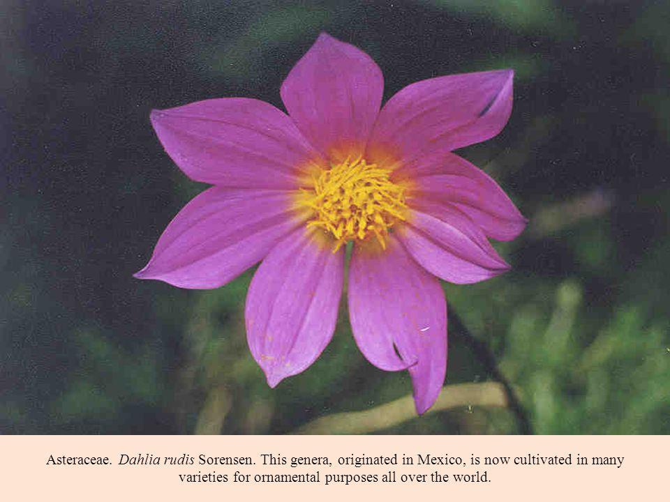Asteraceae. Dahlia rudis Sorensen.