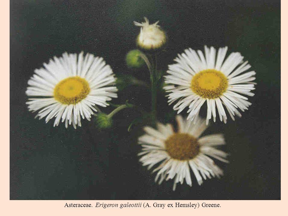 Asteraceae. Erigeron galeottii (A. Gray ex Hemsley) Greene.