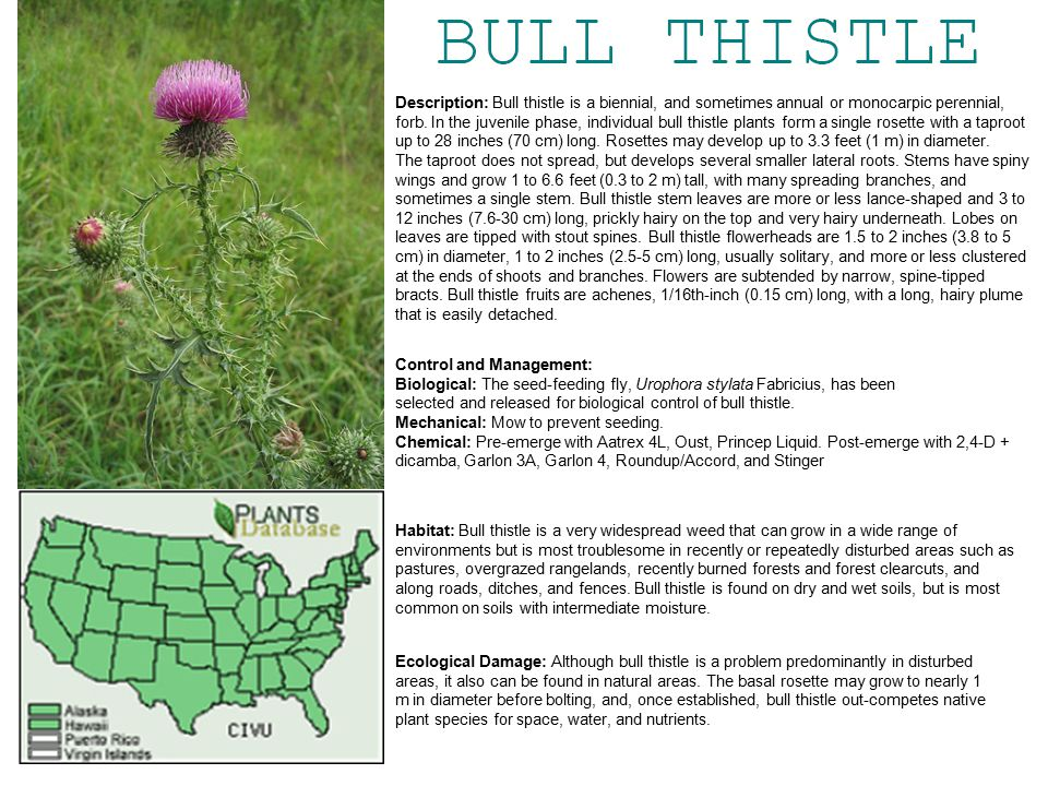Description: Bull thistle is a biennial, and sometimes annual or monocarpic perennial, forb.