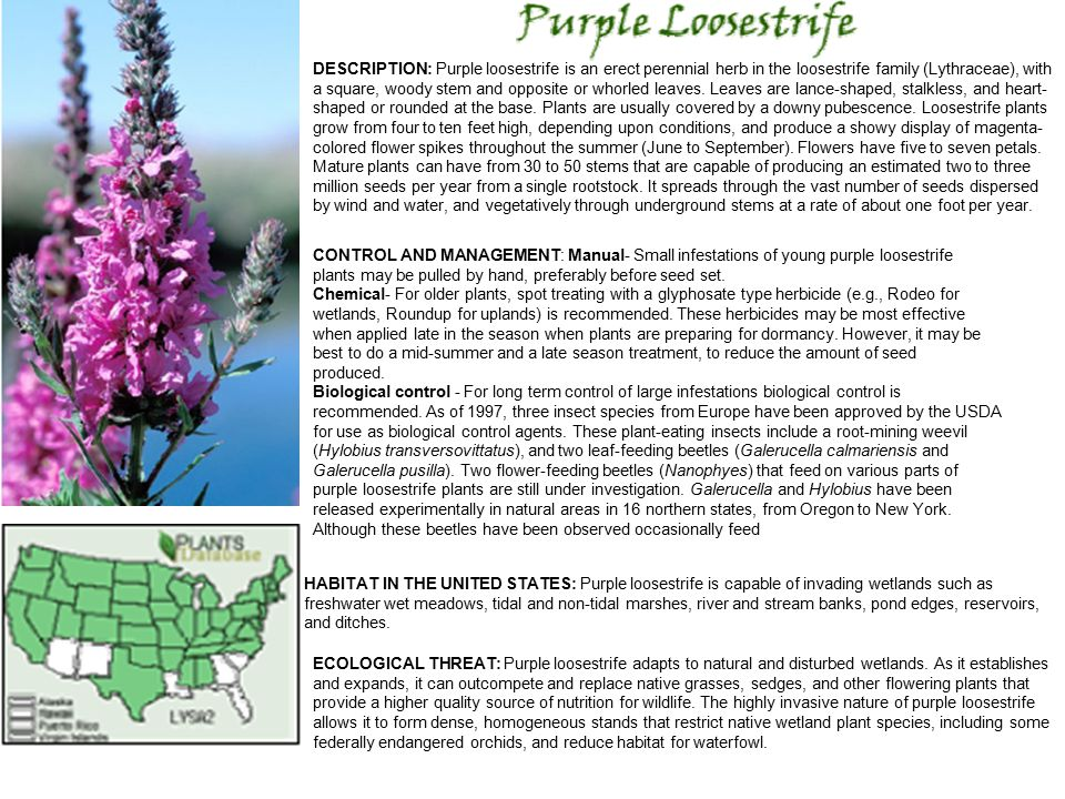 DESCRIPTION: Purple loosestrife is an erect perennial herb in the loosestrife family (Lythraceae), with a square, woody stem and opposite or whorled leaves.