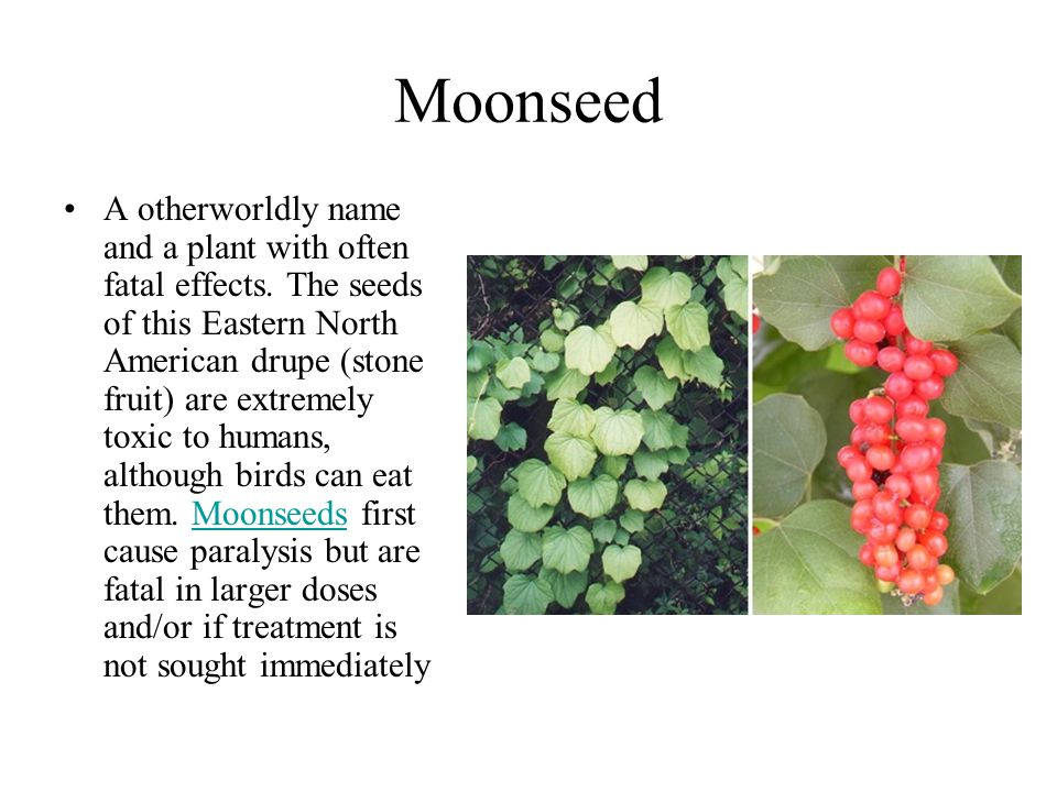 Moonseed A otherworldly name and a plant with often fatal effects. The seeds of this Eastern North American drupe (stone fruit) are extremely toxic to