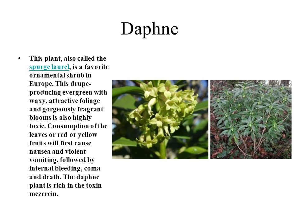 Daphne This plant, also called the spurge laurel, is a favorite ornamental shrub in Europe. This drupe- producing evergreen with waxy, attractive foli