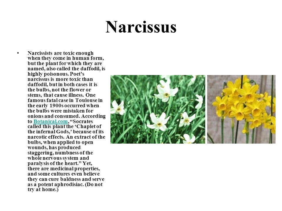 Narcissus Narcissists are toxic enough when they come in human form, but the plant for which they are named, also called the daffodil, is highly poiso